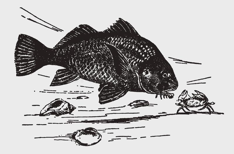 Freshwater drum fish aplodinotus grunniens attacking a crab with erected claws. Illustration after a historic engraving from the early 20th century stock illustration