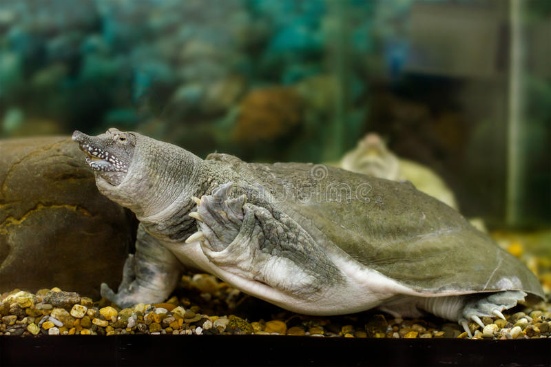 Freshwater exotic Chinese softshell turtle. Image of freshwater exotic Chinese softshell turtle royalty free stock photo