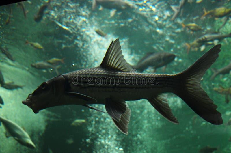 Freshwater fish in aquarium stock photos