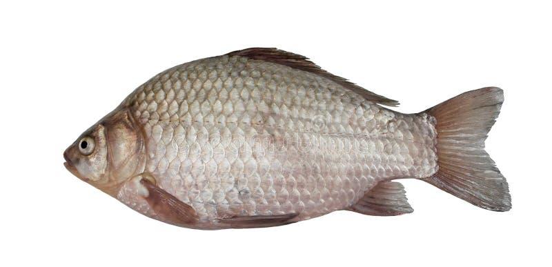 Freshwater fish (Carassius auratus gibelio) royalty free stock photos