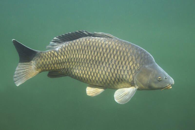 Common Carp Cyprinus Carpio Stock Photo