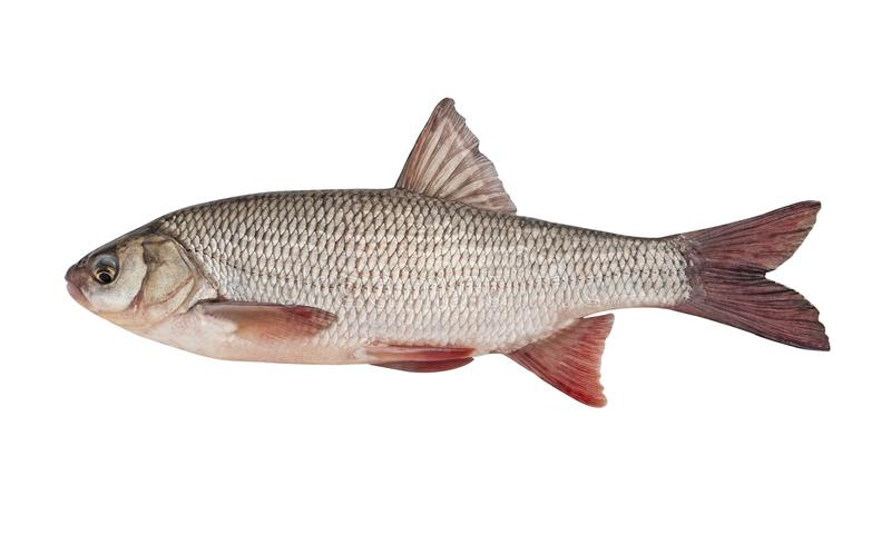 Freshwater fish ide isolated on a white background. Live fish stock images