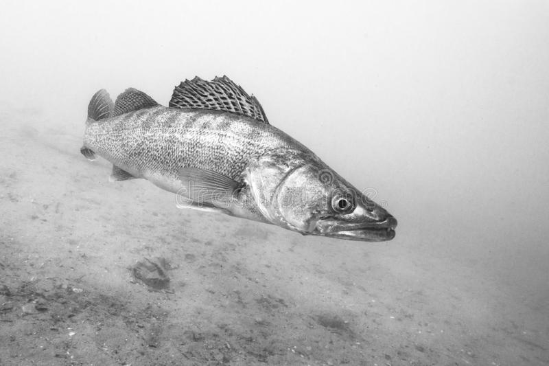Freshwater fish pike perch Sander lucioperca Underwater stock images