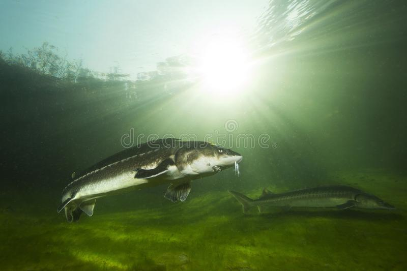 Freshwater fish Russian sturgeon, acipenser gueldenstaedti in the beautiful clean river. Underwater photography. Of swimming sturgeon in the nature. Wild life royalty free stock photos