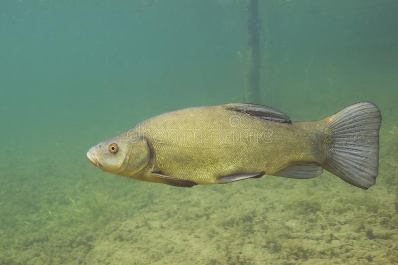 Freshwater fish tench Tinca tinca Underwater photography royalty free stock image