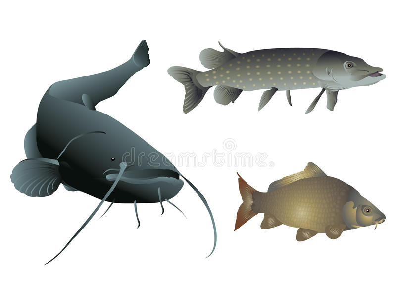 Freshwater fishes. It is illustration of freshwater fishes royalty free illustration