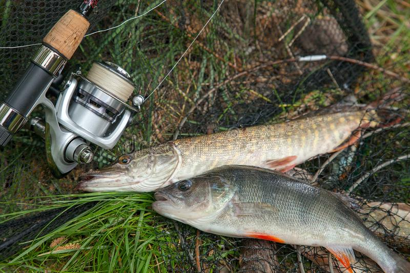 Big freshwater perch and pike fish on landing net with fishery c stock image