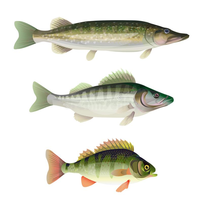 Freshwater predatory fish. Set of freshwater predatory fish. Pike, zander, perch. Vector illustration isolated on white background vector illustration