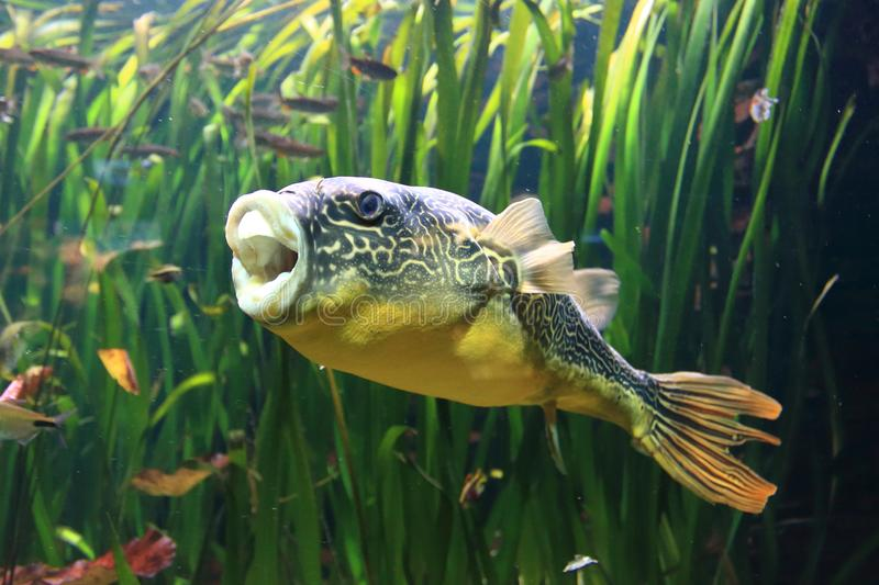 Freshwater puffer fish. Floating in water stock images