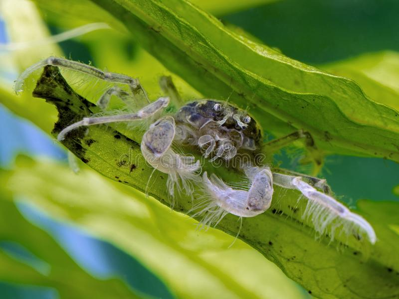 Freshwater Thai micro crab on aquatic plants, front view 2 royalty free stock photos
