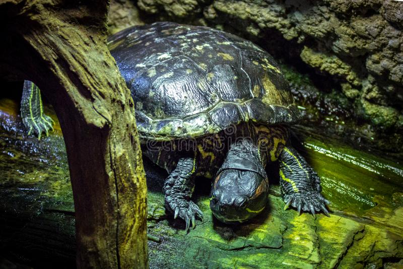 Freshwater turtles resting stock images