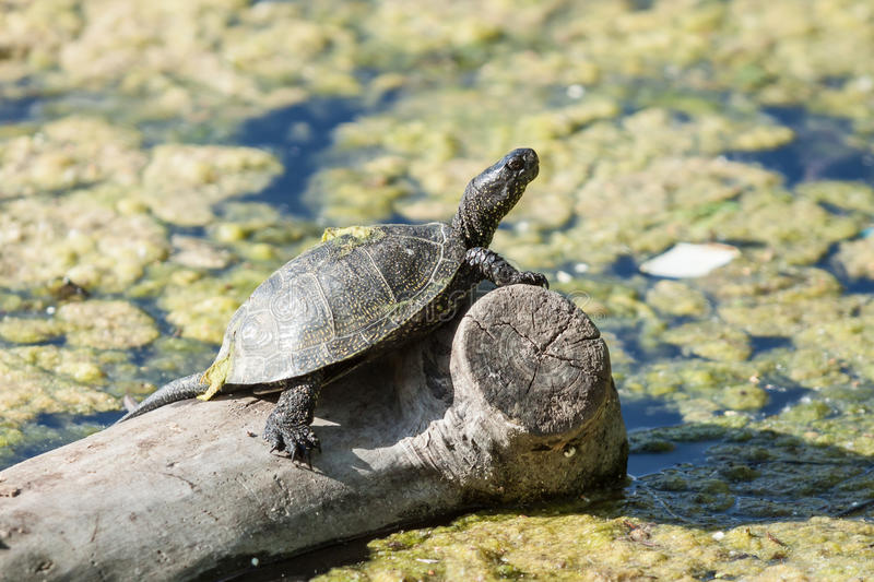 Freshwater turtle stock images