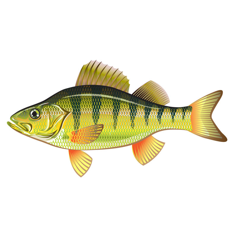 Freshwater Yellow Perch Vector Art graphic design file. Realistic illustration stock illustration