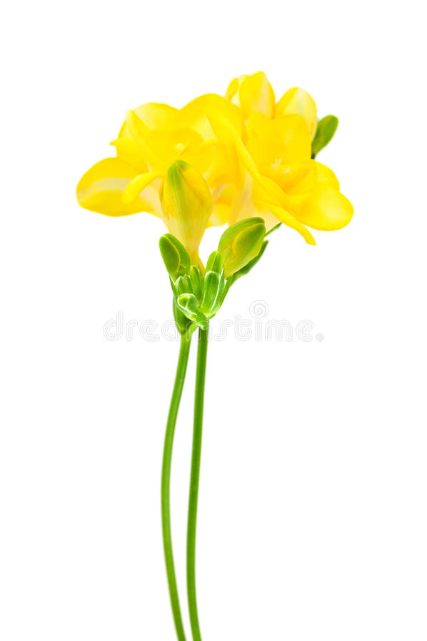 Fresia jaune sur le blanc photos libres de droits