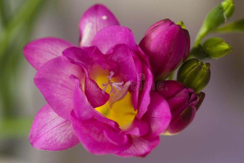 Fresia rose photo stock