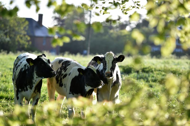 Fresian Cows enjoy the sunshine in the early morning stock image