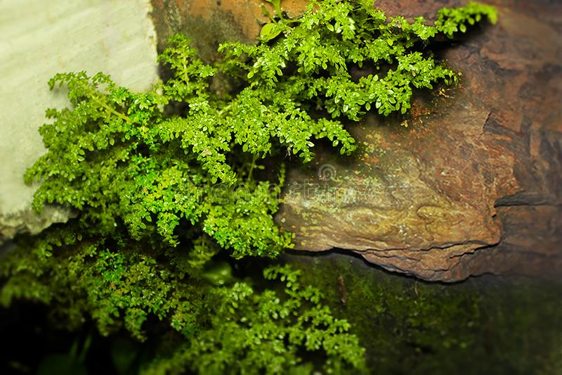 The Fresify mini tree on a stone wall. Rain comes out when secong shot taken. It taken when cloudy, the first shot was bit blury. Leaf Green Nature Rain Grass royalty free stock photo