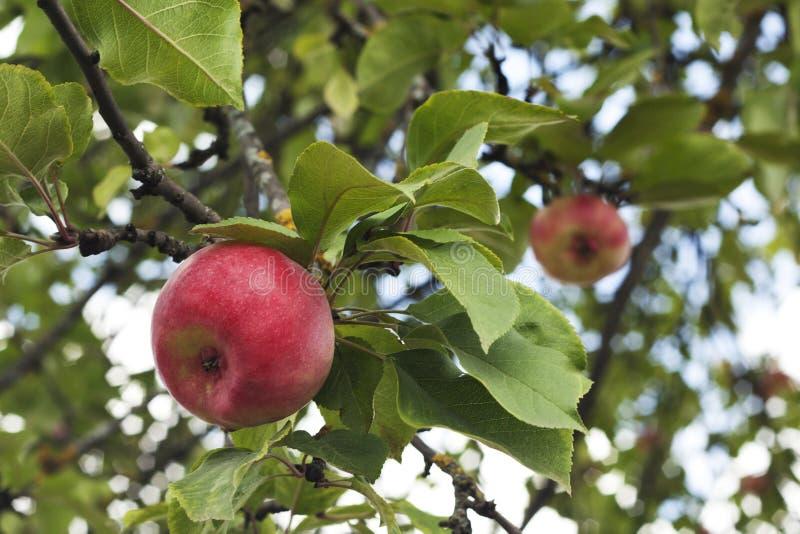 Frestande röda äpplen på äppleträdet Äpplenärbild royaltyfria foton