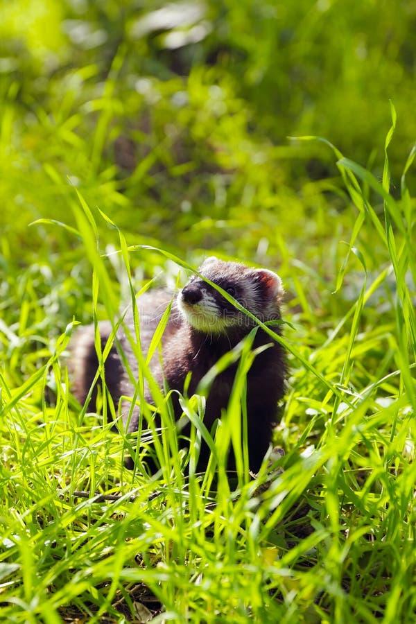 Fretka na trawie zdjęcie royalty free
