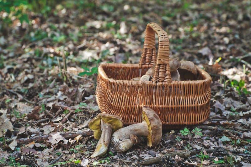 Freude am Pilzpflücker Frische porcini Pilze im Wald stockbilder
