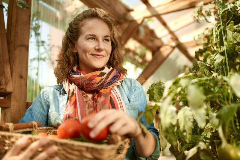 Freundliche Frau, die frische Tomaten vom Gewächshausgarten einsetzt reifes lokales Erzeugnis in einen Korb erntet lizenzfreies stockbild