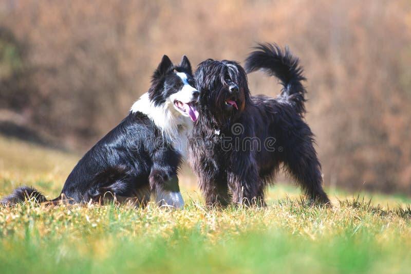 Freundliche Hunde kontrollieren Weidekühe stockfoto