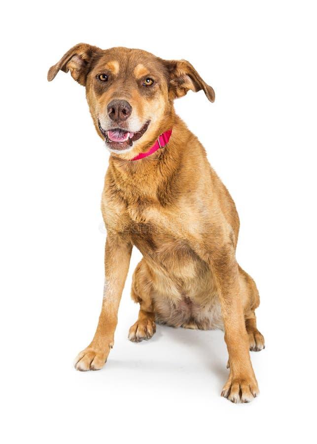 Freundlicher Brown-Schäfer Crossbreed Dog Sitting stockbild