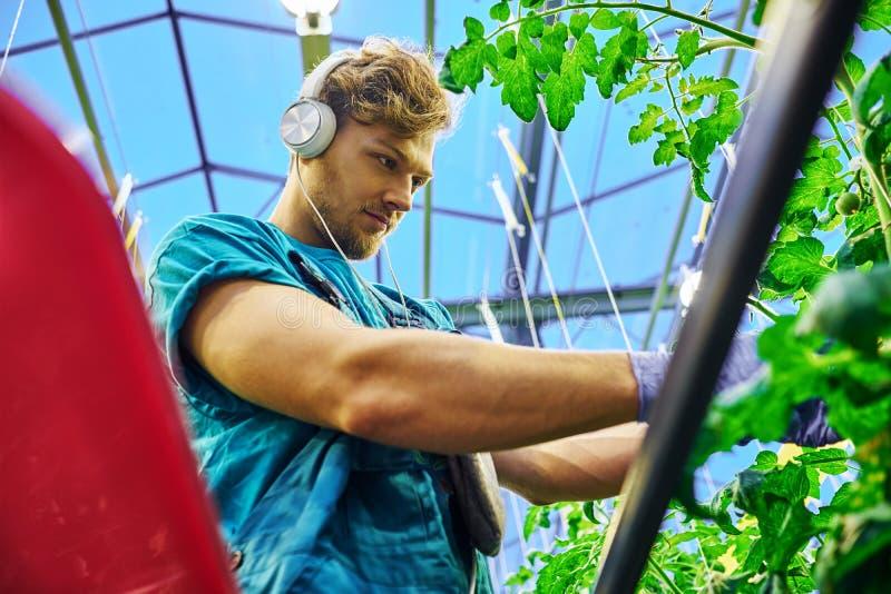 Freundlicher Landwirt, der an hydraulischer Scherenbühneplattform im Gewächshaus arbeitet lizenzfreie stockfotos