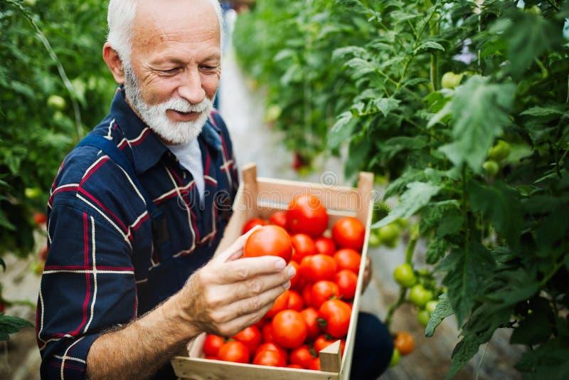 Freundlicher reifer Landwirt bei der Arbeit im Gewächshaus stockfotos