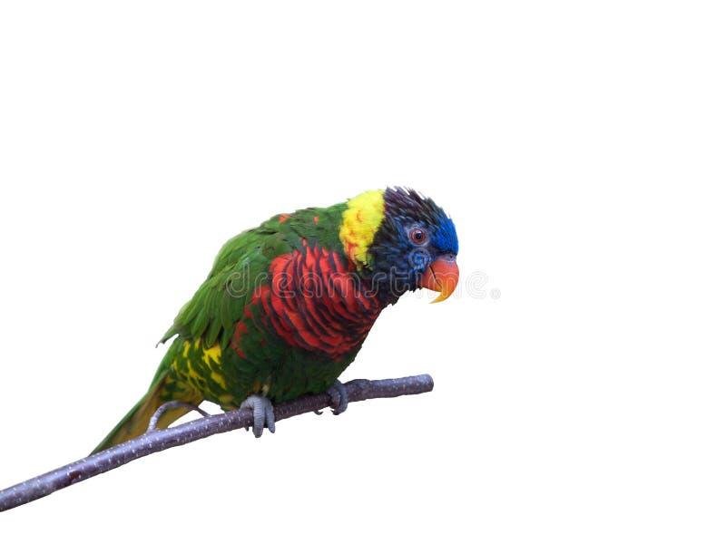 Freundliches Papageiensitzen stockbild