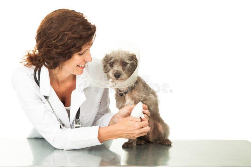 Freundliches weibliches Tierarzt-Wrapping Injured Dog-Bein stockfotografie