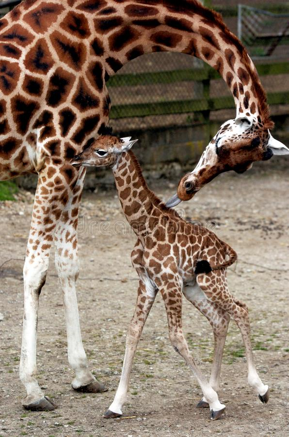 Freya the baby giraffe with mum stock photo