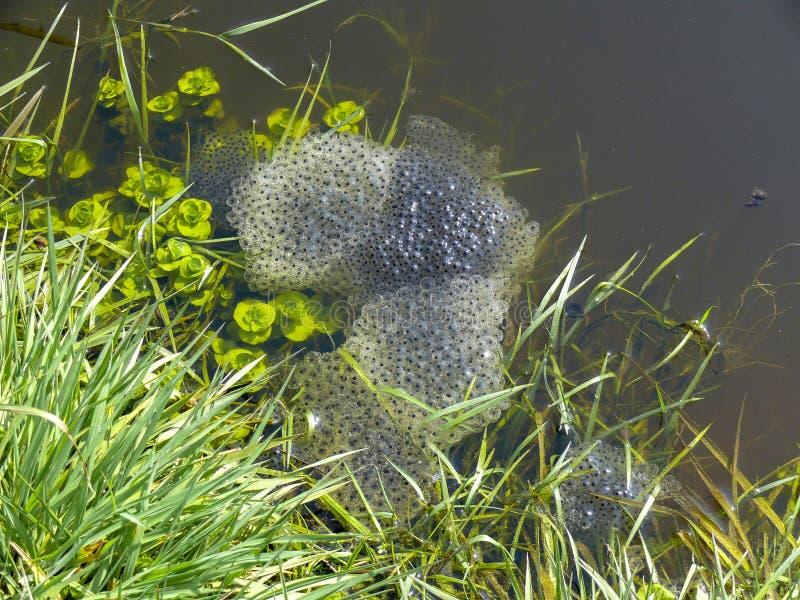 Freza hermosa de una rana en un charco, huevos de los centenares de una rana en gel de la jalea, en la orilla del agua, en una ca fotos de archivo libres de regalías