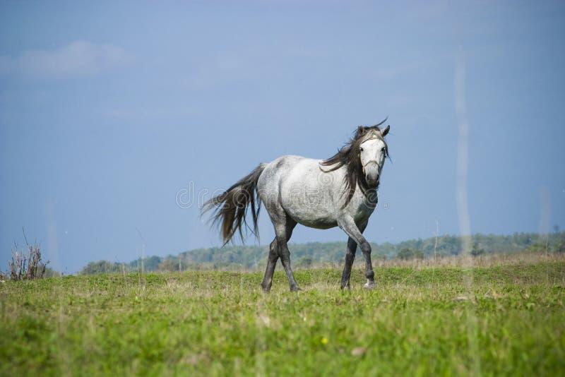 fri hästrunning arkivbilder