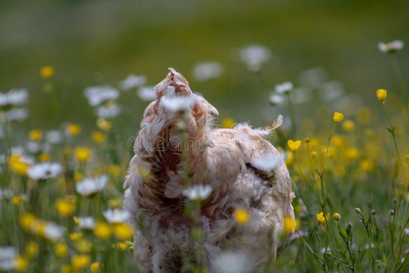 Fri områdehöna som strövar omkring och pickar lyckligt i ett fält Lantgårdliv, italienskt landshus fotografering för bildbyråer