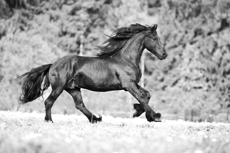 Fria friesianhästkörningar som är svartvita royaltyfria bilder