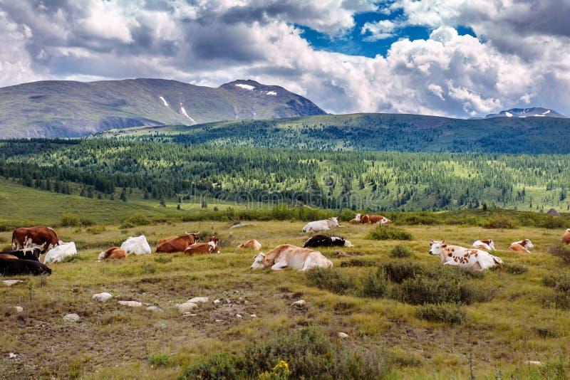Fria kor vilar på ett berg betar i sommardag Kor betar fritt i bergen, lögn på jordningen mot royaltyfri bild