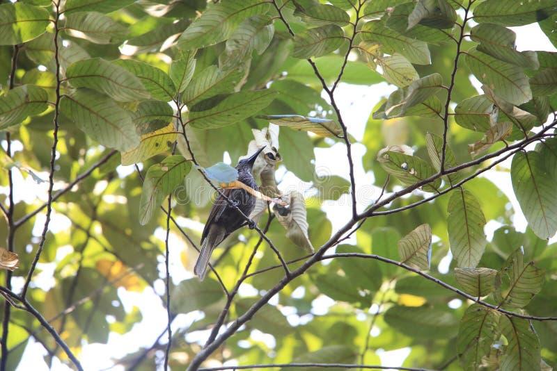 Friarbird Branco-listado na ilha de Halmahera, Indonésia imagem de stock
