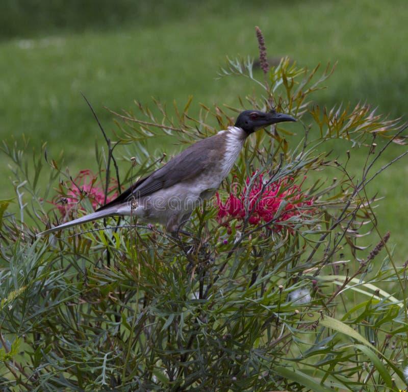 Friarbird, das auf blühendem Bottlebrushbusch genießt stockfotos