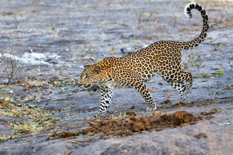 Frican leopard Chobe Botswana, Africa wildlife. Beautiful cat, south african leopard on bank of river Chobe, Panthera pardus, Chobe National Park, Botswana royalty free stock photos
