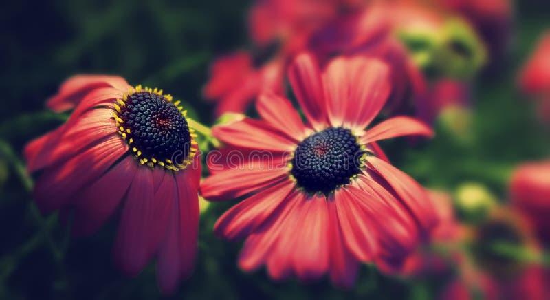 Fridfullt slut upp av röda blommor i trädgård arkivfoton