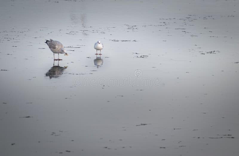 Fridsamma fiskmåsar som står på det djupfrysta vattnet med härlig refle arkivbilder