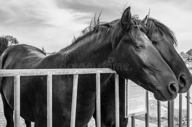 Fridsamma hästar royaltyfria foton