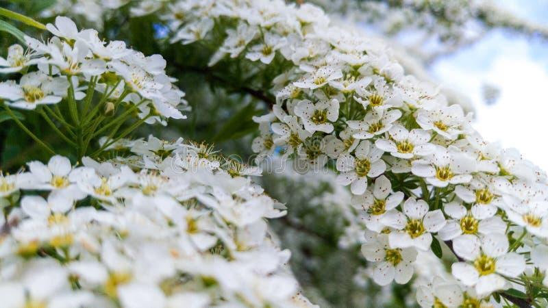 Fridsamma Sunny Day: Makro av mycket vita blommor royaltyfria bilder