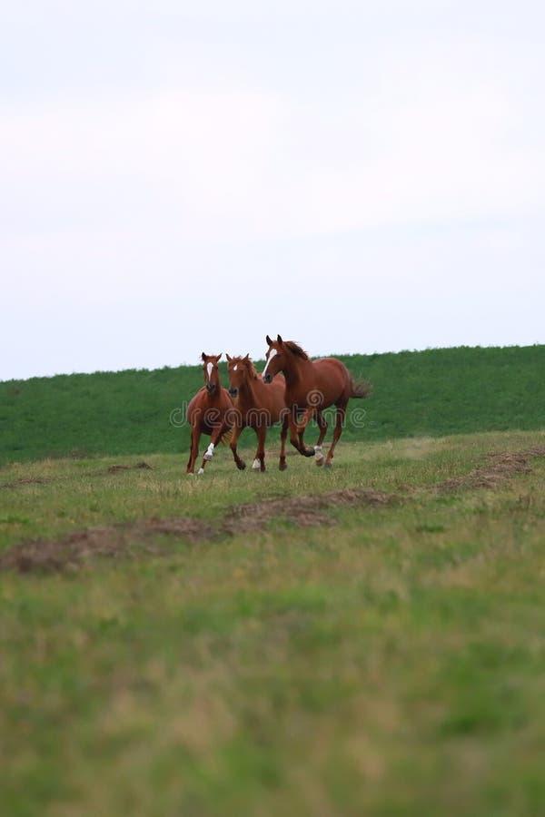 Fridsamt idylliskt landskap med unga kastanjebruna stoar på kullen arkivfoton