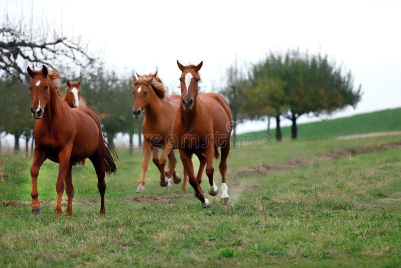 Fridsamt idylliskt landskap med unga kastanjebruna stoar på kullen fotografering för bildbyråer