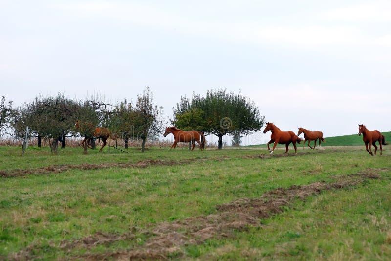 Fridsamt idylliskt landskap med unga kastanjebruna stoar på kullen arkivbild