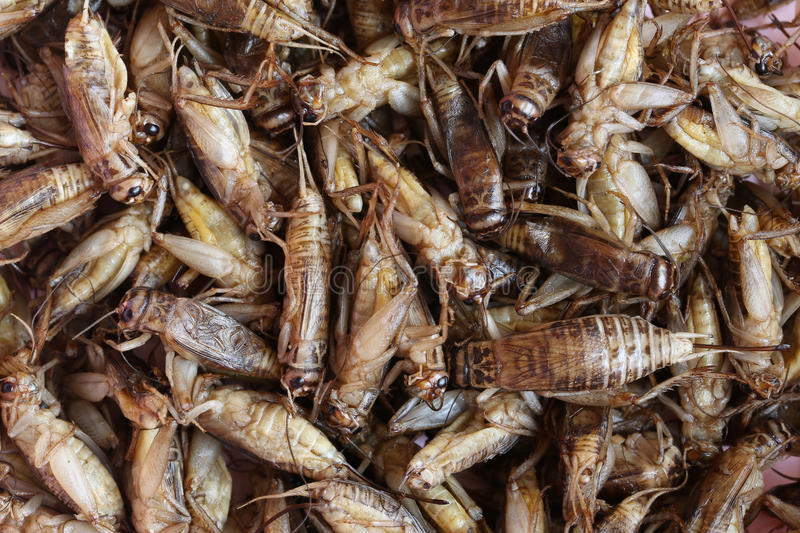Fried crickets,This local popular Thai food of northeast people. Fried crickets,This local popular Thai food of northeast people for the design food background royalty free stock photos