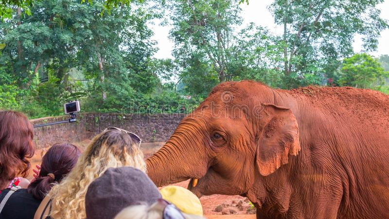 A friendly auburn elephant in Safari Park China communicates with visitors. Close-up view.  stock images