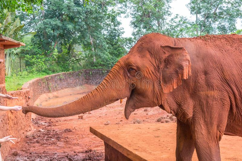 A friendly auburn elephant in Safari Park China communicates with visitors. Close-up view.  stock image